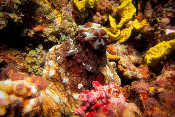 An octopus shows its camouflaging ability in Dahab, Egypt on a Scuba 2000 club trip